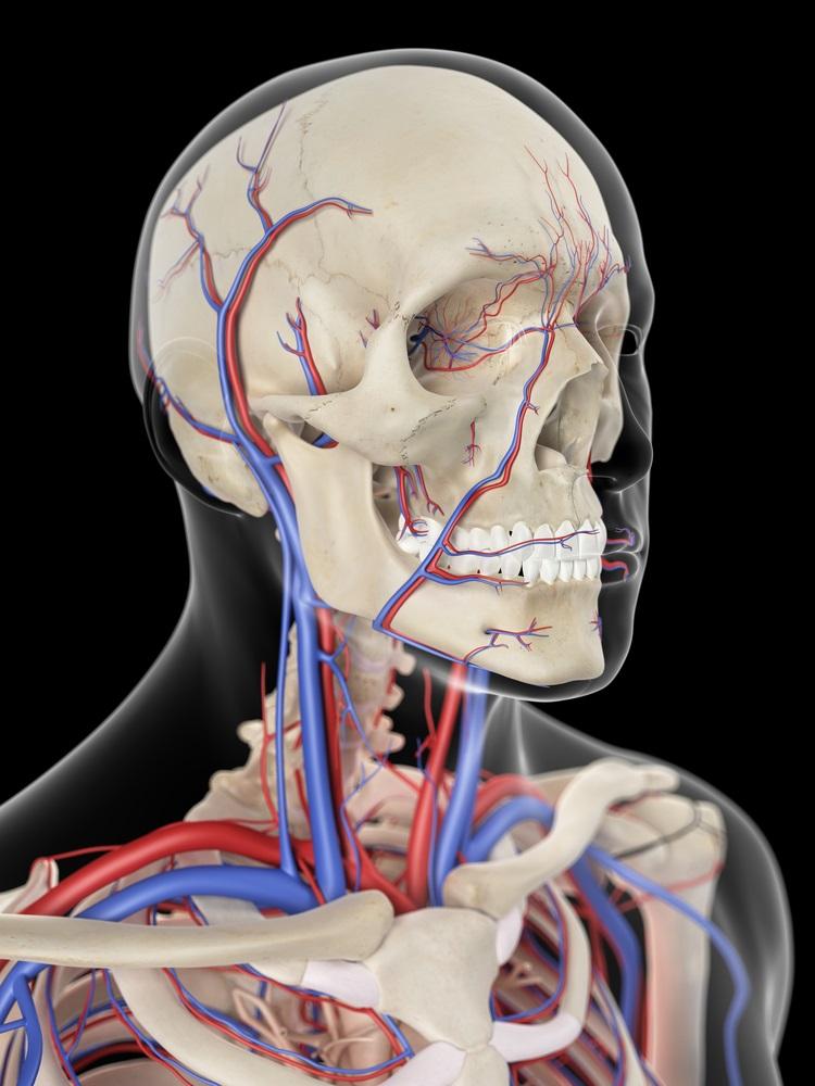 Major blood vessels of the neck